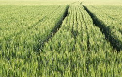 Field of growing wheat Stock Photography