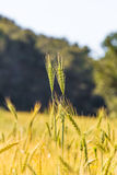 Field of growing the wheat closeup Stock Photography