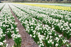 Field of growing white narcissus or daffodils on farm Royalty Free Stock Photography