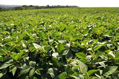 The field grows soy. Agrarian landscape with soy growing in the field royalty free stock photos