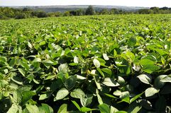 The field grows soy. Agrarian landscape with soy growing in the field royalty free stock images