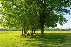 field gruppsommartrees Royaltyfria Foton