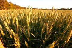 field guld- vete fotografering för bildbyråer