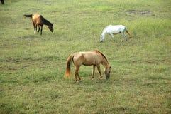 field hästar Fotografering för Bildbyråer