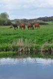 field hästar Royaltyfri Bild