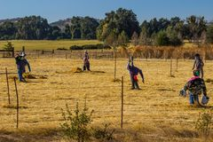 Field Of Halloween Scarecrows. Field Of Various Halloween Scarecrows Stock Photos