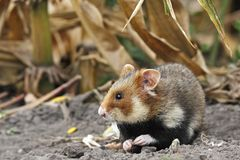 Field hamster eat. On a cornfield Royalty Free Stock Image