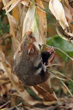 Field hamster gather maize Stock Photography
