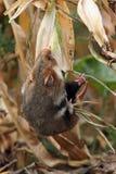 Field hamster gather maize. On a cornfield stock photography