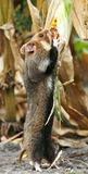 Field hamster gather maize. On a cornfield royalty free stock images