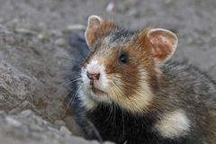 Field hamster portrait Royalty Free Stock Photos