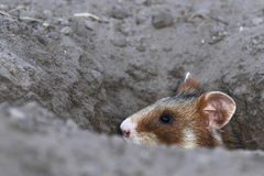 Field hamster portrait royalty free stock photo
