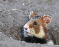 Field hamster portrait Stock Photos