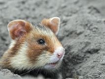 Field hamster portrait Royalty Free Stock Images