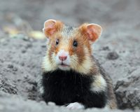 Field hamster portrait Royalty Free Stock Photos