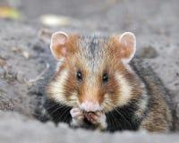 Field hamster portrait Stock Image