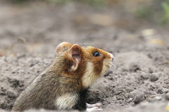 Field hamster profile. Look from the hole stock photos
