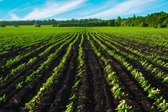 Field  before the harvest. The field  before the harvest Royalty Free Stock Photography