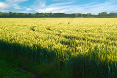 Field  before the harvest Royalty Free Stock Photo