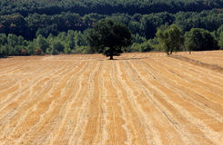 Field after harvest Stock Image