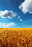 Field before harvest - august Royalty Free Stock Photos