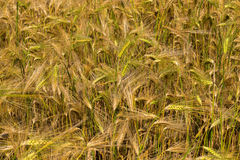 Field with harvest rye. Stock Image
