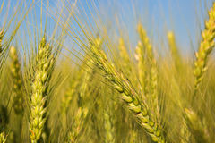 Field with harvest rye. Stock Photos