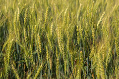 Field with harvest rye. Stock Images