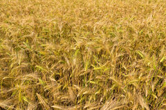 Field with harvest rye. Royalty Free Stock Images