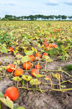 Field with harvested orange pumpkins in a row Royalty Free Stock Image
