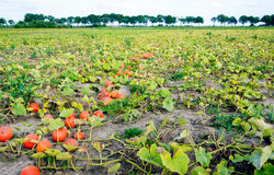 Field with harvested orange pumpkins in a row Royalty Free Stock Photos