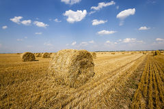 Field after harvesting cereal. Haystacks straw lying in the agricultural field after harvesting cereal Royalty Free Stock Image