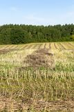 Field after harvesting rapeseed Stock Image