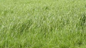 Field of hay grass. stock video