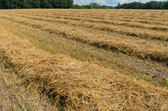 Field with hay Royalty Free Stock Image