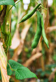 Field with heaps of haricot beans in summer Stock Photo