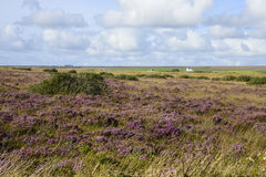 Field of heather Royalty Free Stock Photos