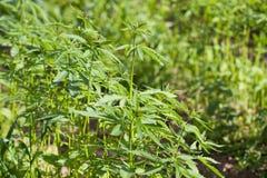 Field of hemp Cannabis Sativa Stock Photos