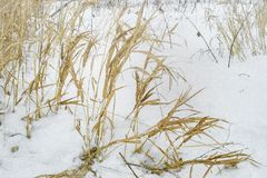 Field herbs on a winter snowy day royalty free stock photos