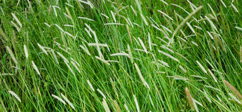 Field with a high Timothy grass Royalty Free Stock Photo