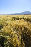 Field of highland barley in autumn Royalty Free Stock Photography