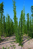 Field of hop Royalty Free Stock Photos