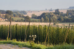 Field of hop Stock Images