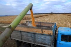 From the hopper of the combine, the grain is pulled down into th. In the field from the hopper of the combine, the corn of the new corn crop is blown into the royalty free stock photo