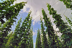 Field of hops Royalty Free Stock Image