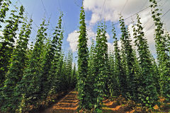 Field of hops Stock Photos