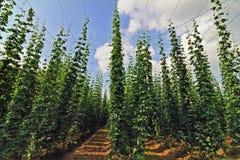 Field of hops Stock Photos