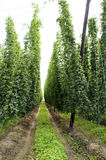 Field of Hops Royalty Free Stock Photography