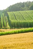 Field of Hops. A field of hops in late summer, ready to be harvested. Photo taken in Hallertau (Holledau), Germany. This is the world's largest hops growing area stock image