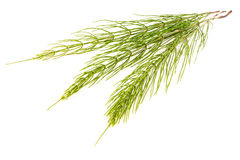 Field Horsetail. On White Background Royalty Free Stock Images